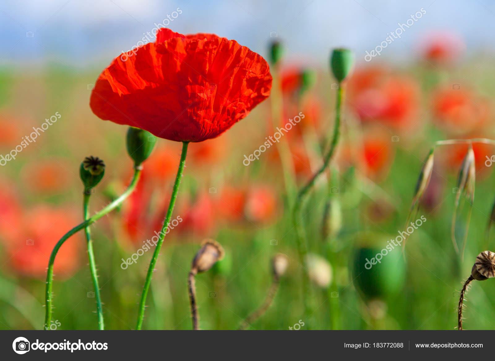 Red Beautiful Poppy Flowers In Field Stock Photo Ivantsov