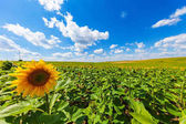 Photo field of blooming sunflowers