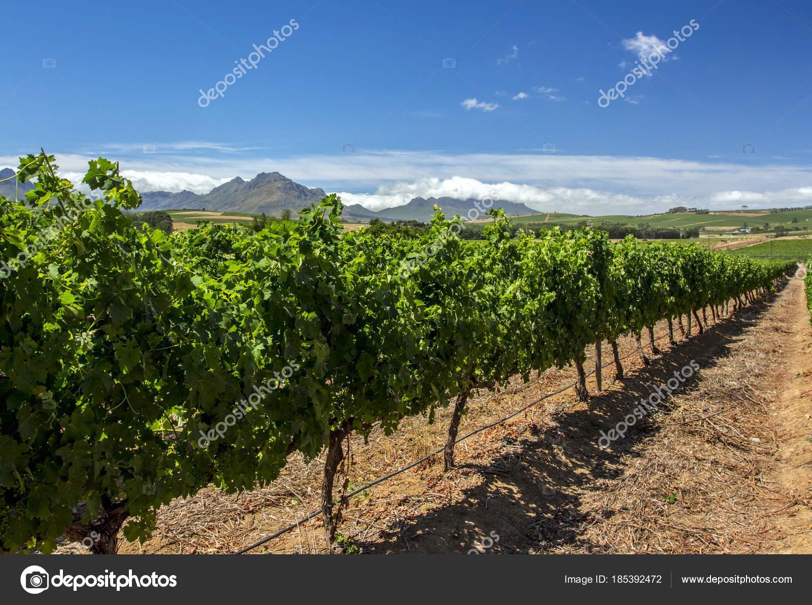 Azienda agricola uva citt del capo sud africa foto for Sud africa immagini