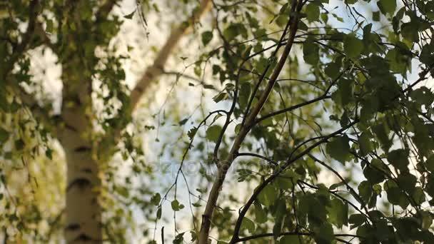 Příroda v létě pozadí. Krásné zelené břízy nad rozostřeného pozadí