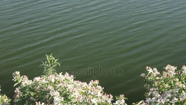 Rozkvět krásné květy jasmínu. Svatba nad jasmín květy kvetou bílé motýly