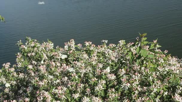 Rozkvět krásné květy jasmínu. Svatba nad jasmín květy kvetou bílé motýly.