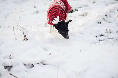 Cute doggie in a suit of a reindeer runs on snowdrifts in the winter park.
