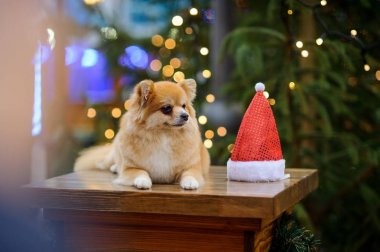 Charming pomeranian spitz against the background of the shining Christmas tree