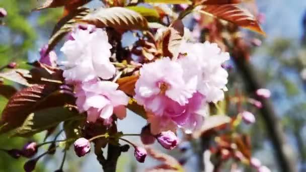 Sakura růžová Třešňové květy makro