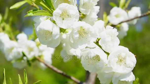white sakura cherry blossoms macro