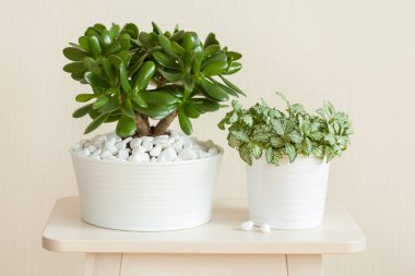 houseplant Crassula ovata jade plant money tree and fittonia in