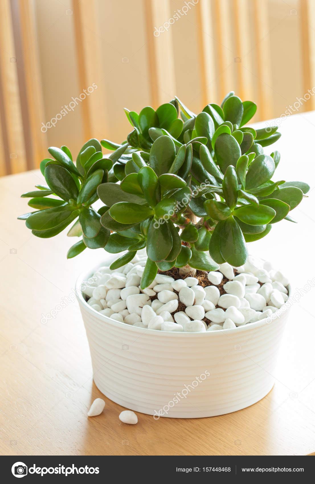 Houseplant Crassula Ovata Jade Plant Money Tree In White Pot Stock