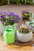 Krásné maceška letní květiny do květináče v zahradě, zalévání