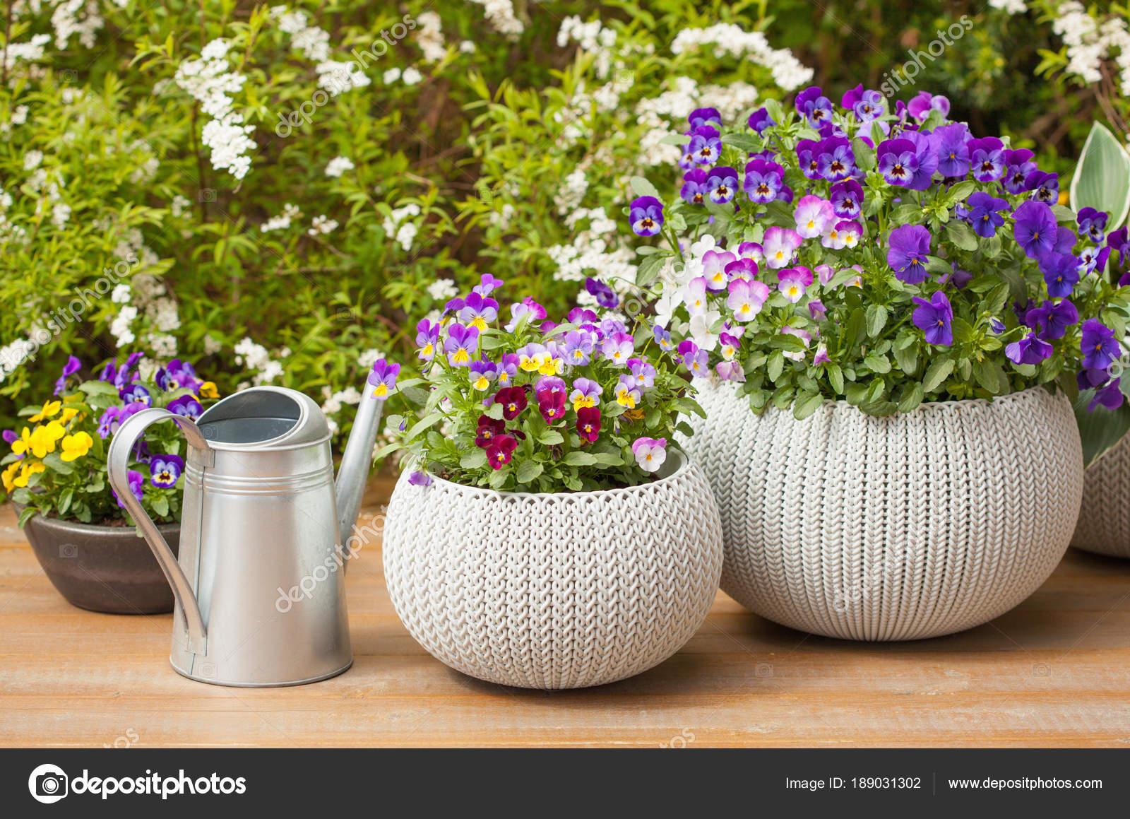 Kwiaty Piękne Lato Bratek W Doniczki W Ogrodzie Zdjęcie
