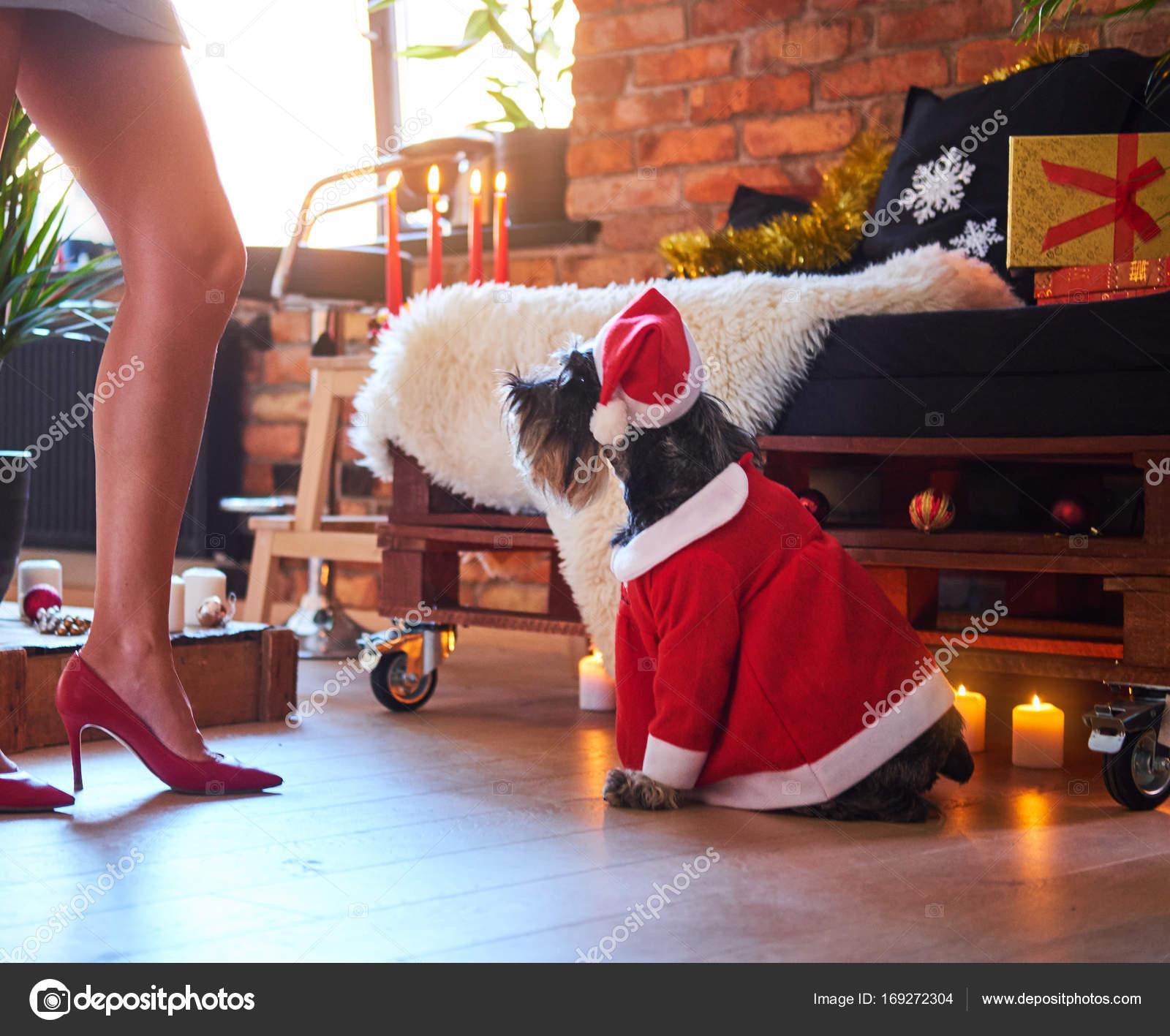 Schnauzer-hund klädd i jul kläder — Stockfotografi © fxquadro  169272304 be78e73aa41e8