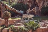 Fotografia La tigre di Bengala bianca grande walks on the park allo zoo nazionale. Alla ricerca di un luogo fresco per ripararsi dal sole su una calda giornata estiva