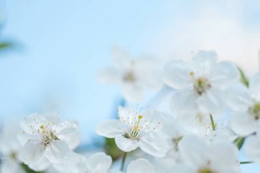 Flowering tree. Close-up of flowers on the branches, spring background. Shallow depth of field. Soft picture