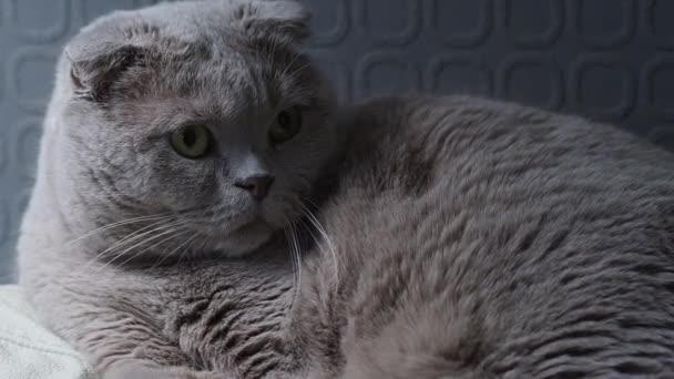Aranyos szürke macska -ból Angol lop fül tenyészt