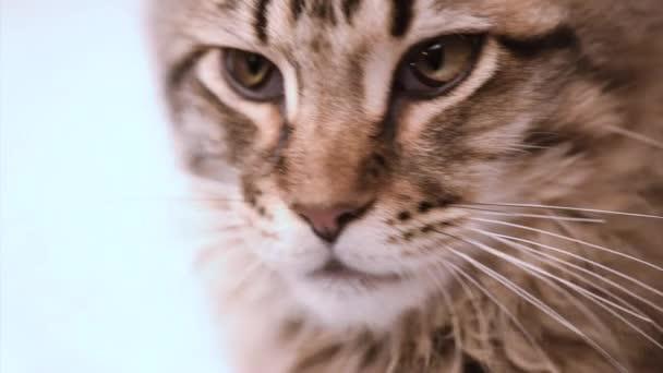 Maine coon macska látszó