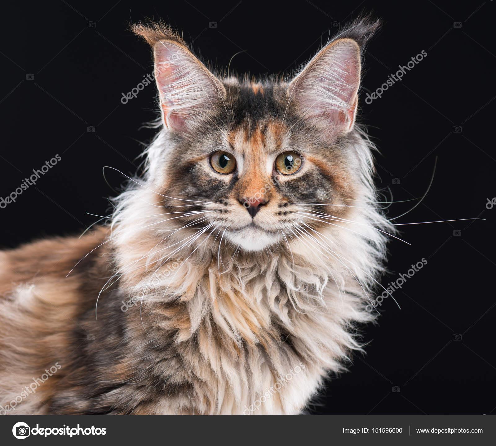 portrait de chat maine coon photographie denisnata 151596600. Black Bedroom Furniture Sets. Home Design Ideas
