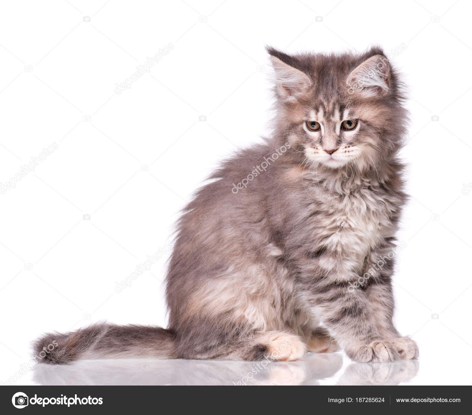 Maine Coon Kitten Biały Zdjęcie Stockowe Denisnata 187285624