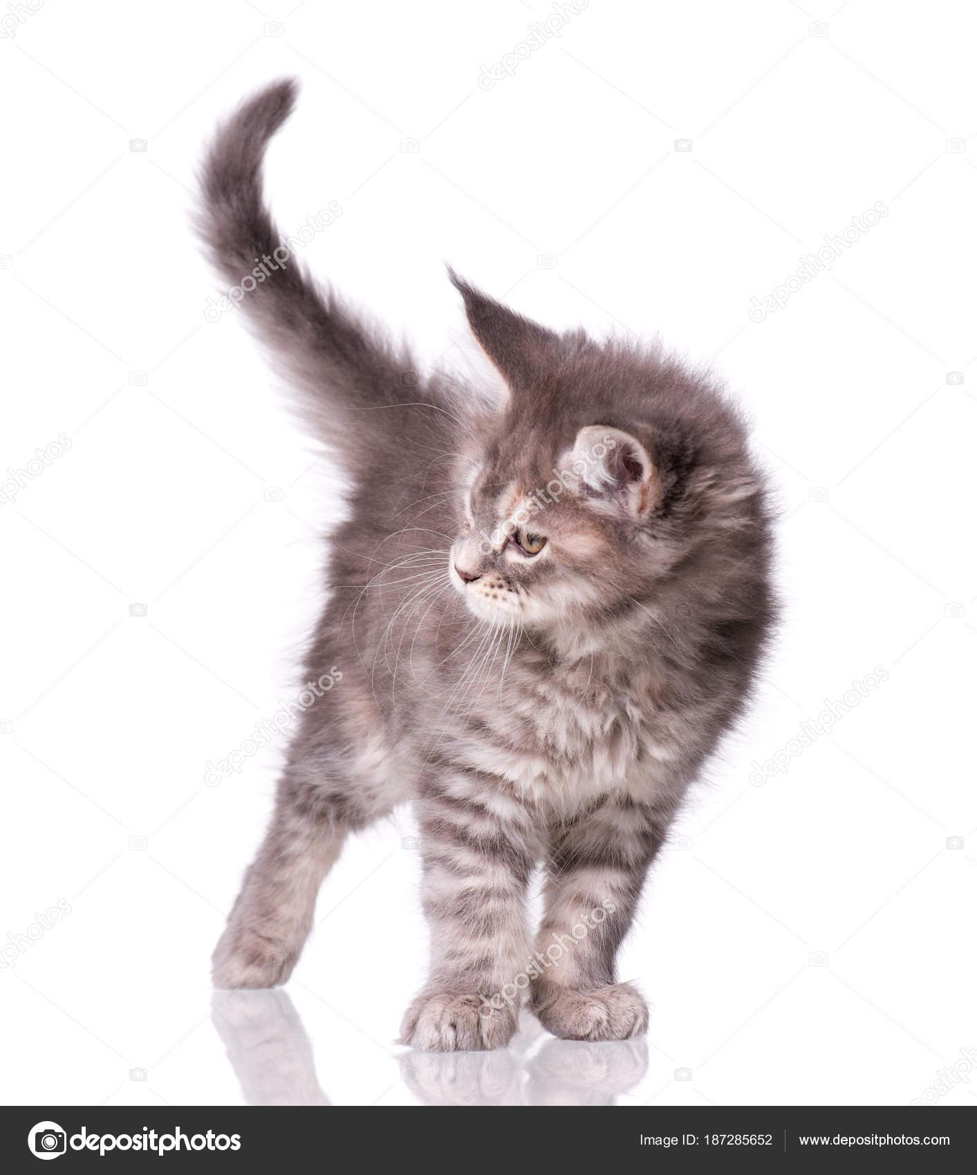 Maine Coon Kitten Biały Zdjęcie Stockowe Denisnata 187285652
