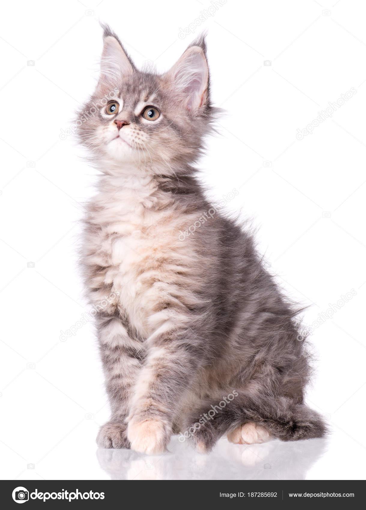 Maine Coon Kitten Biały Zdjęcie Stockowe Denisnata 187285692