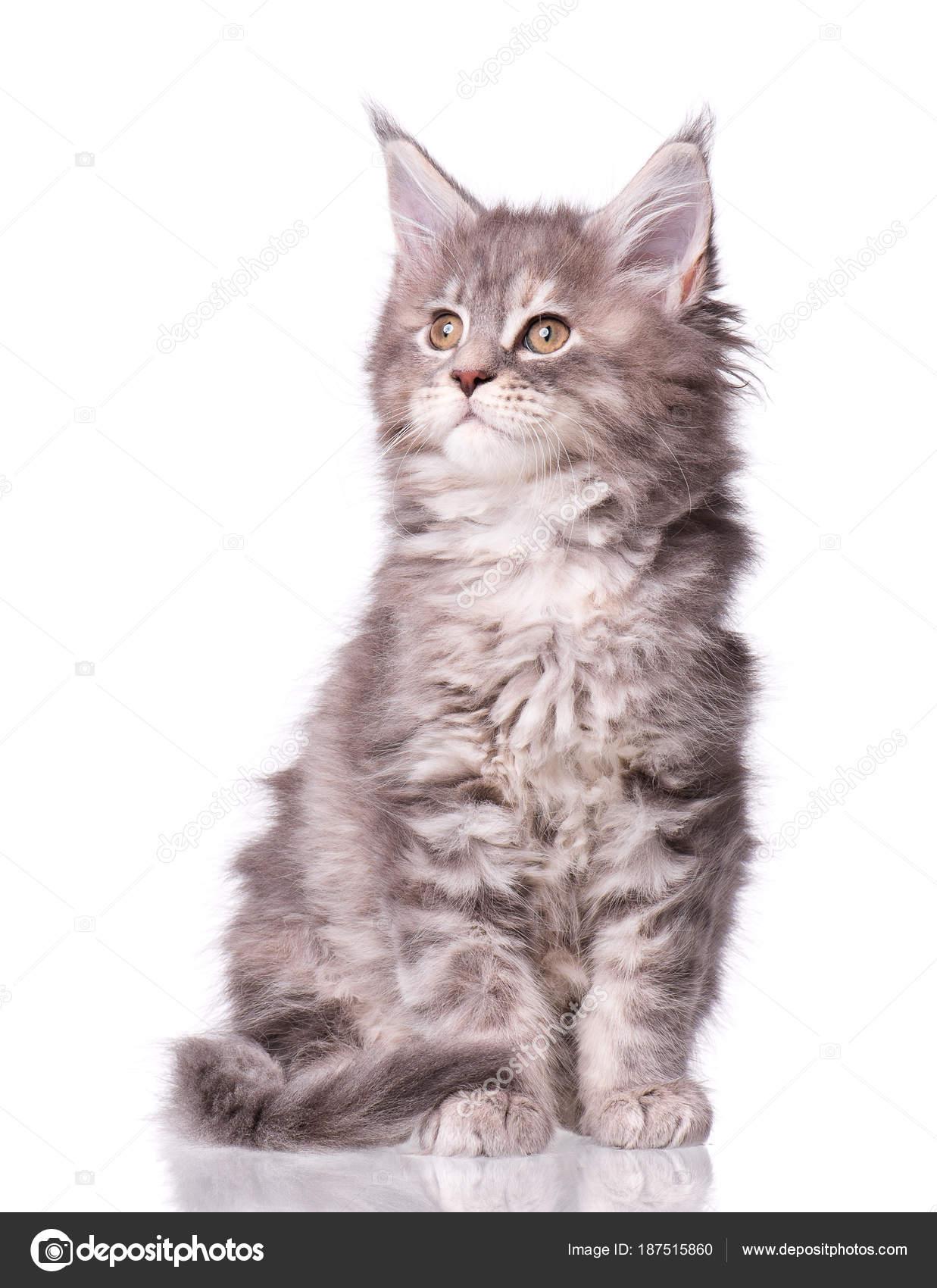 Maine Coon Kitten Biały Zdjęcie Stockowe Denisnata 187515860