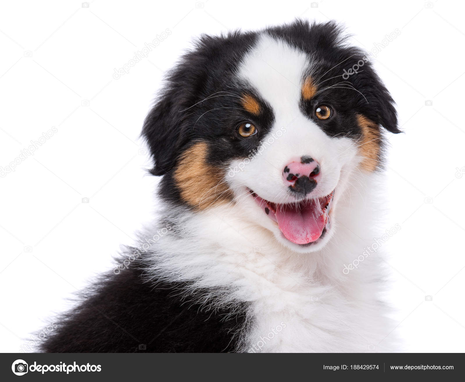 Black Tricolor Australian Shepherd Puppies Australian Shepherd Puppy Stock Photo C Denisnata 188429574