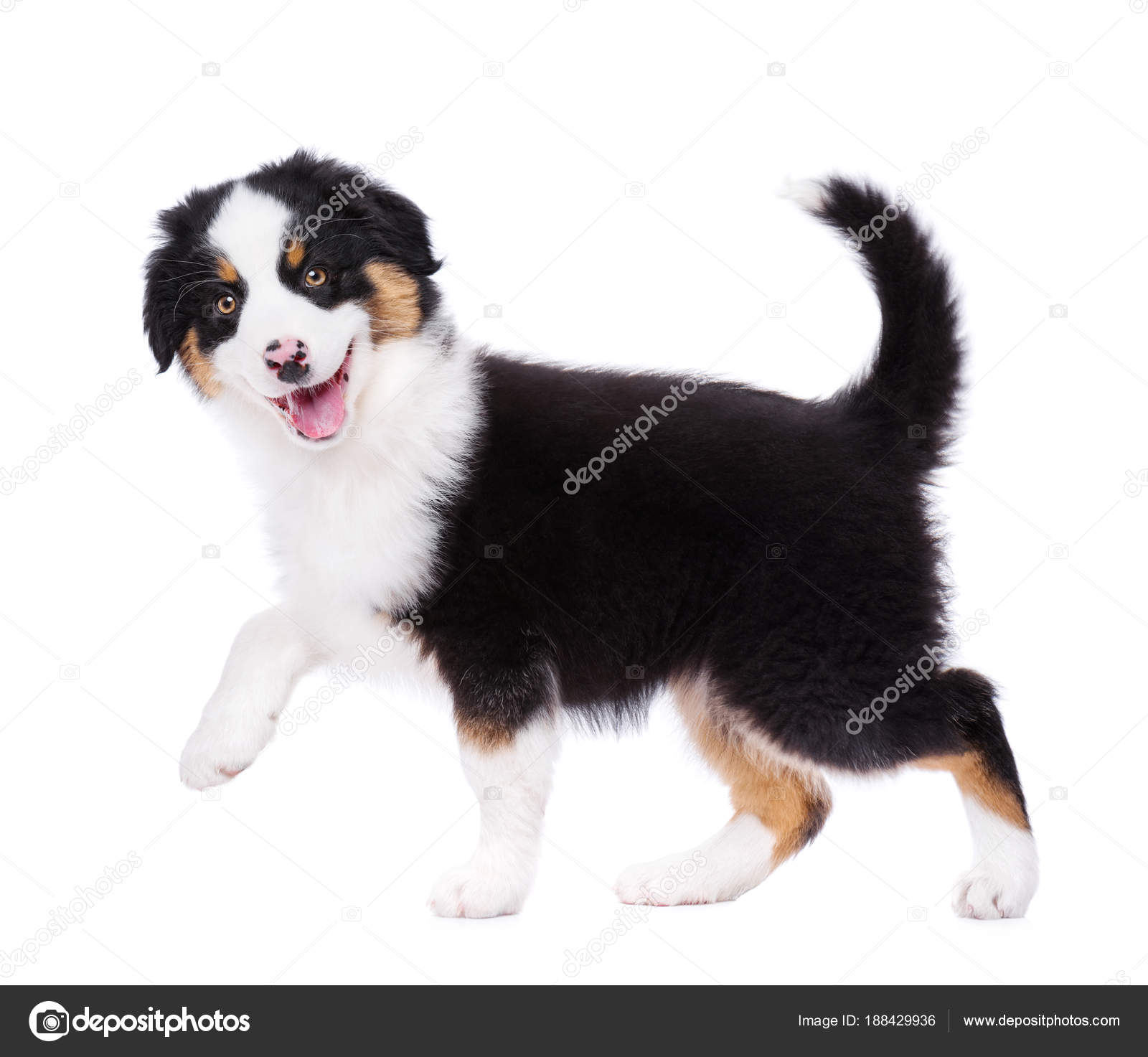 Pictures Australian Shepherds With Tails Australian Shepherd Puppy Stock Photo C Denisnata 188429936