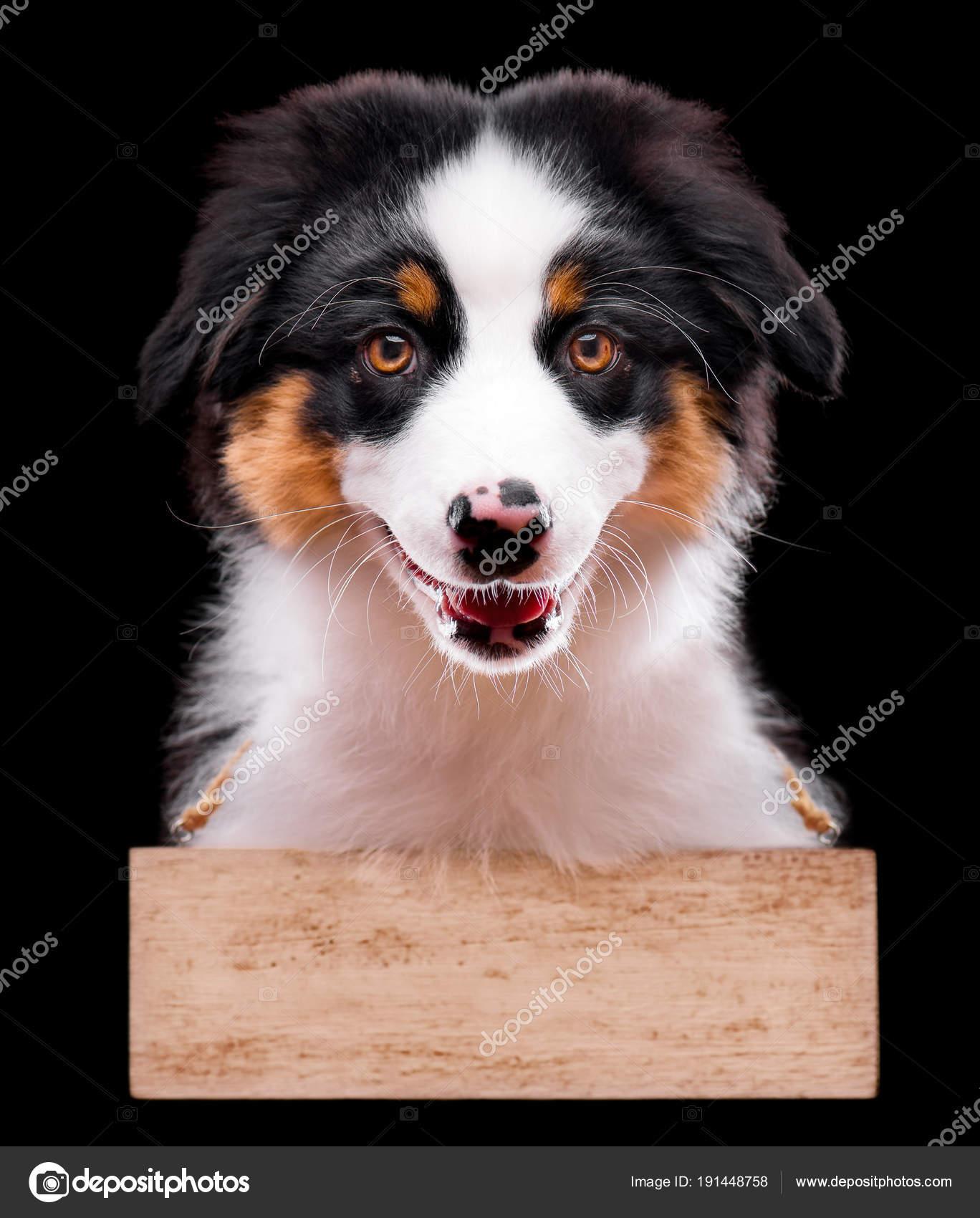 Australian shepherd puppy — Stock Photo © DenisNata #191448758