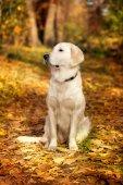 Arany-Vizsla őszi portréja