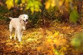 Autumn portrait of golden retriever