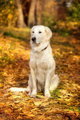 Autumn portrait of golden retriever