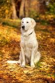 Podzimní portrét zlatý retrívr