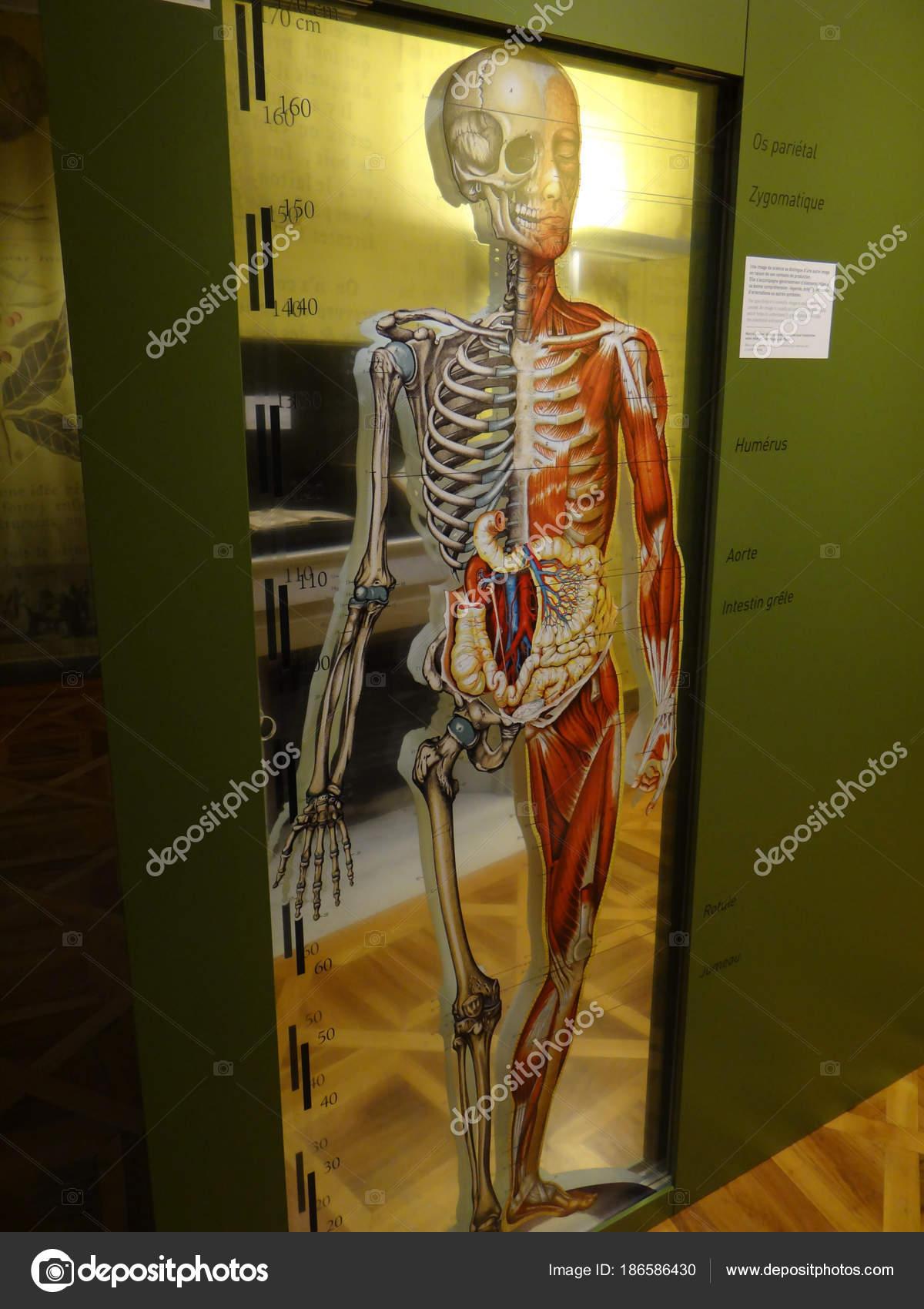 Menschliche Anatomie Anzeige — Redaktionelles Stockfoto © cascoly ...