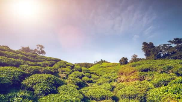 piantagione di tè in Malesia