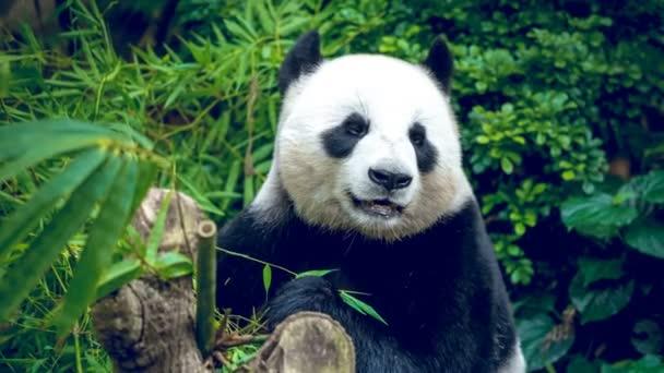 pandu hladový medvěd