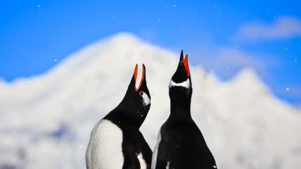 Antarktiszi vadvilág: két pingvinek énekel