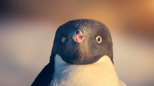 Antarktiszi vadvilág: fekete-fehér pingvin látszó-on fényképezőgép