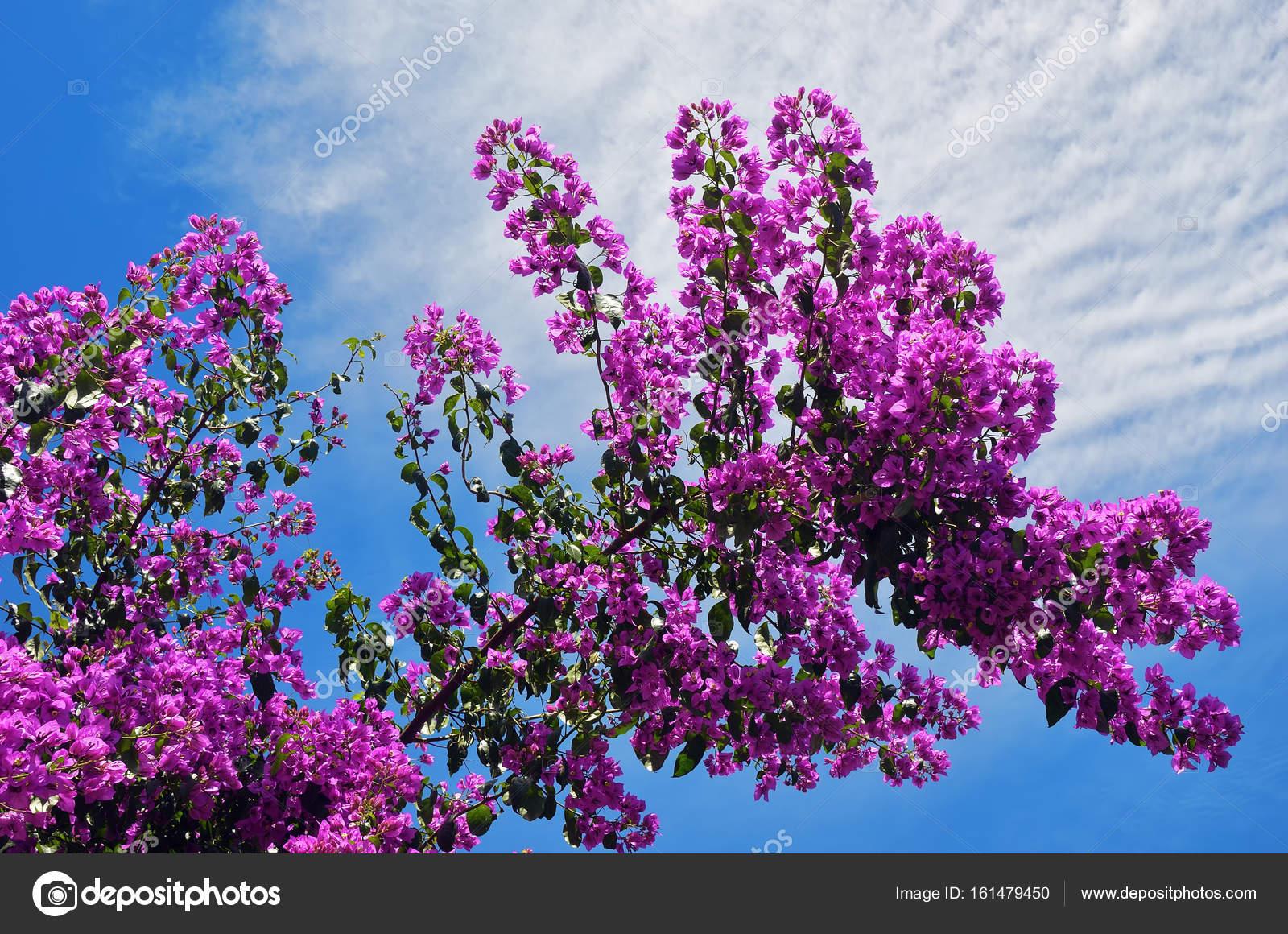 fleurs de bougainvillier rose belle — photographie znm666 © #161479450