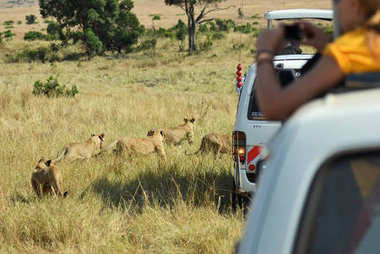 Safari in Masai Mara, Kenya. Touristic car and lions cubs