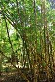 Foresta di bambù su Mauritius
