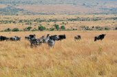 Photo Zebras and wildebeest in Kenya, Masai Mara