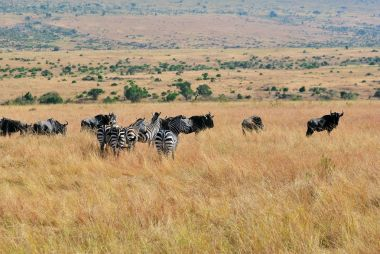 Zebras and wildebeest in Kenya, Masai Mara