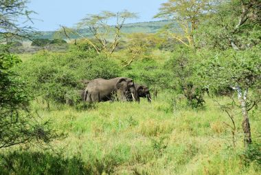 African elephants, Tanzania
