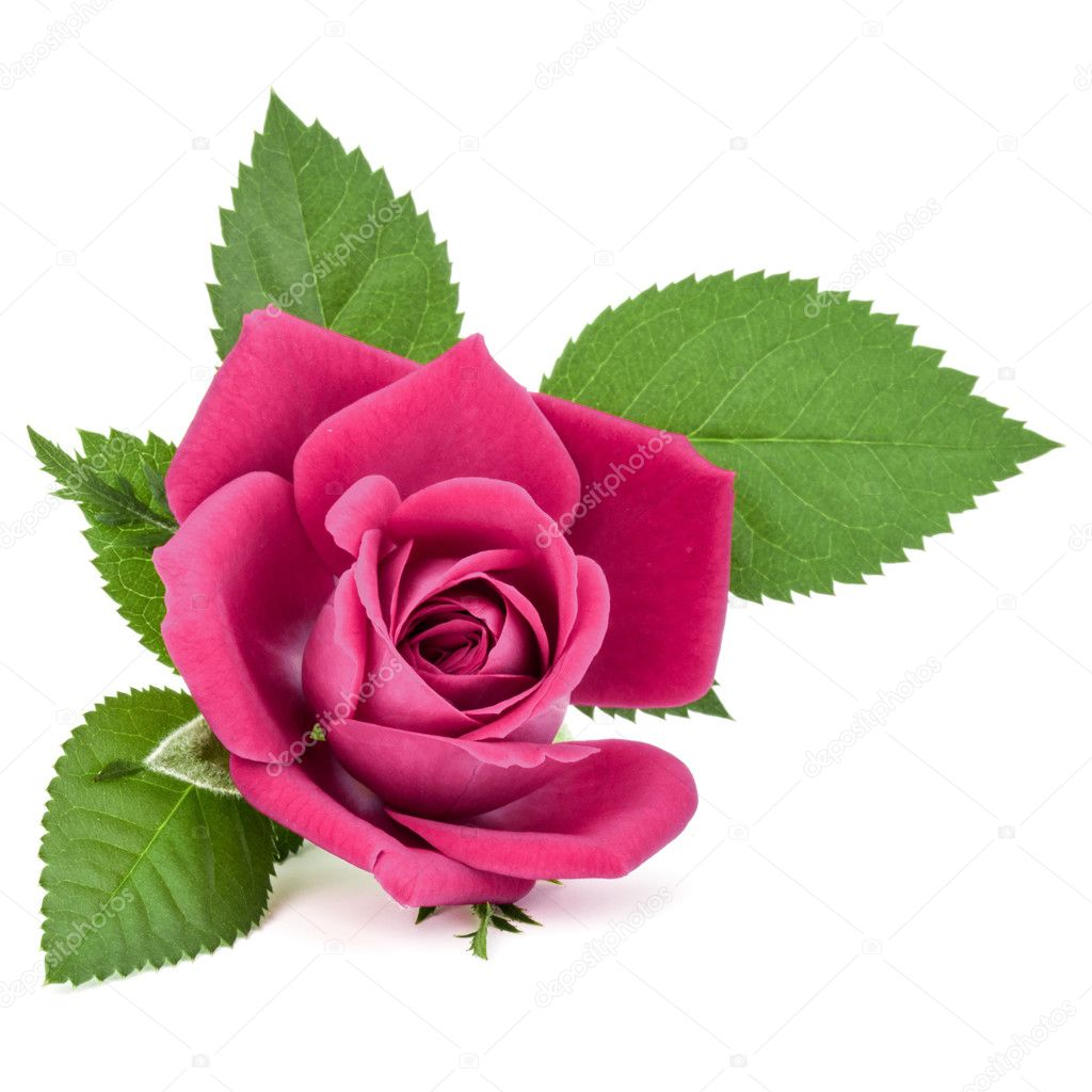 Pink rose flower head isolated stok foto natika 126485218 pink rose flower head isolated stok fotoraf mightylinksfo