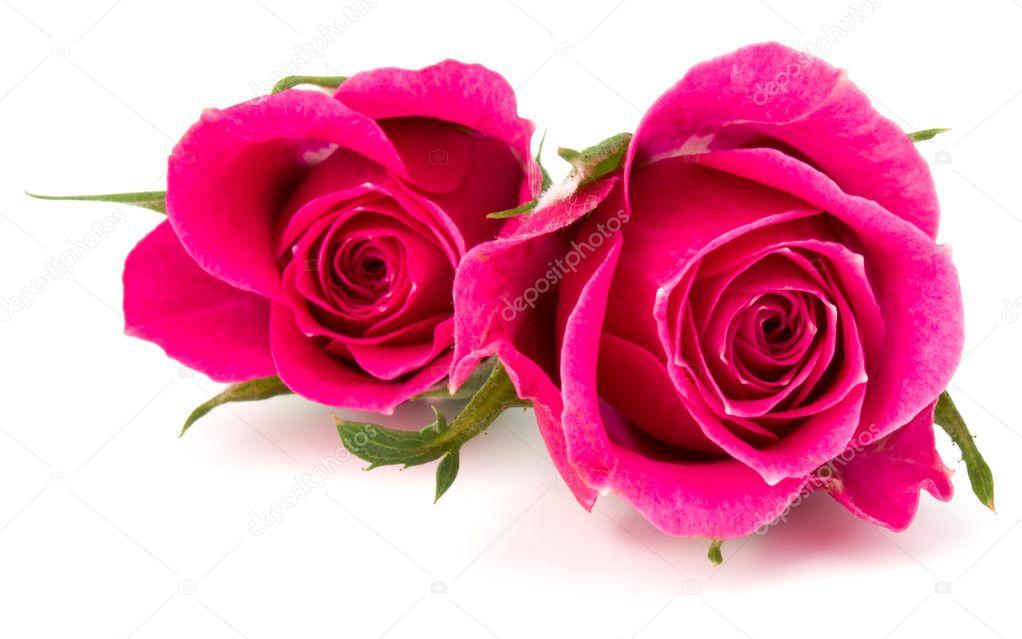 fotos rosas rosadas flores rosas rosadas aisladas foto de stock