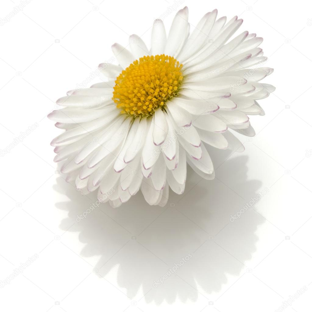 Beautiful single daisy flower isolated stock photo natika 126486036 beautiful single daisy flower isolated on white background cutout photo by natika izmirmasajfo