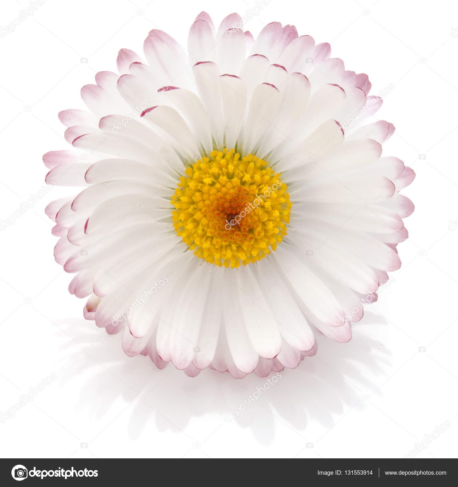 Beautiful Single Daisy Flower Stock Photo Natika 131553914