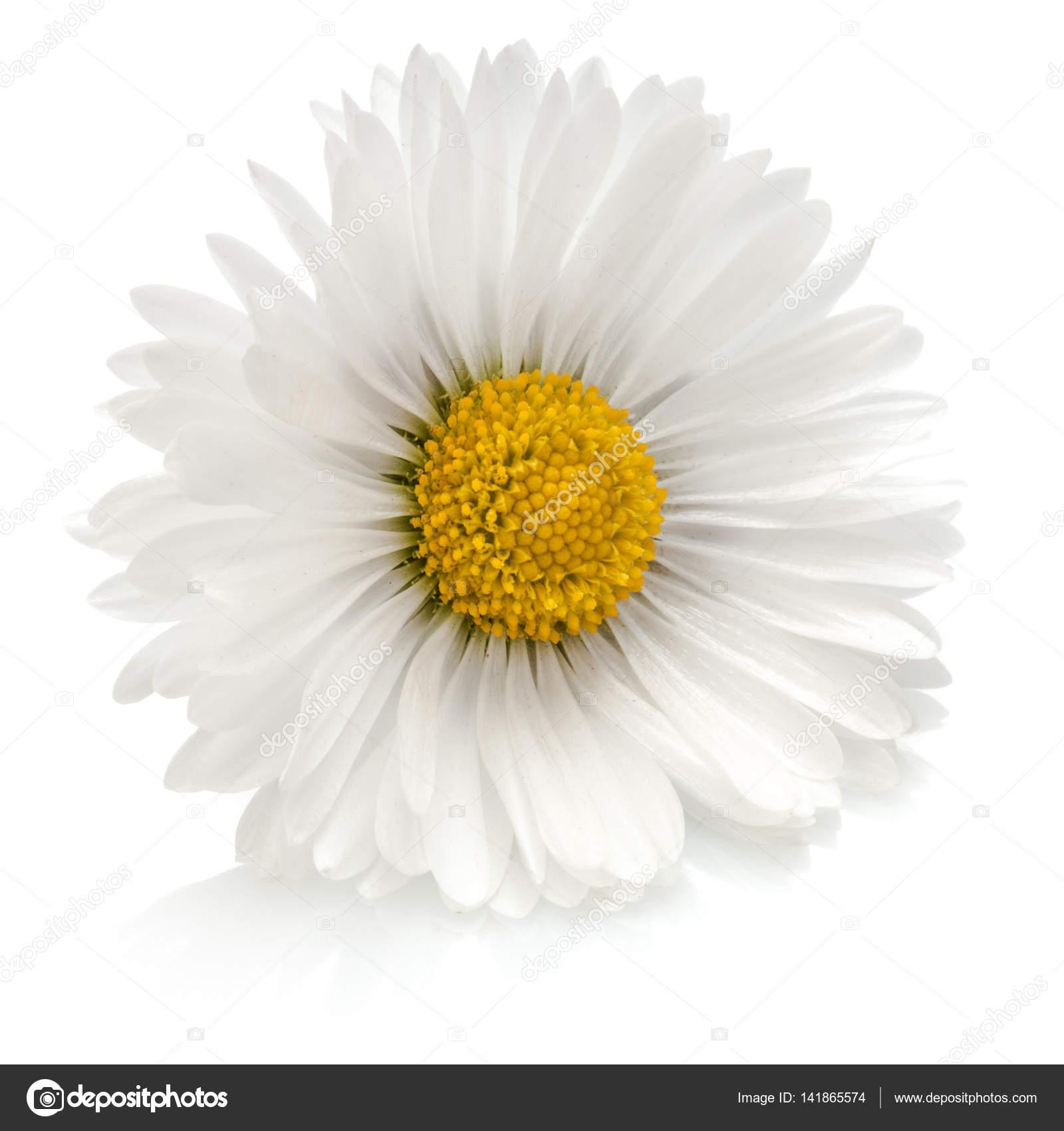 Mooi één Daisy Bloem Stockfoto Natika 141865574