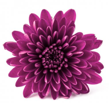 Lilac chrysanthemum flower
