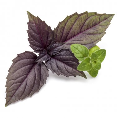 fresh red basil and oregano herb leaves