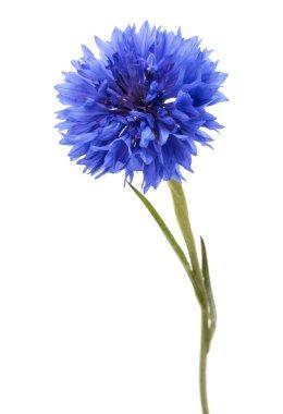 Blue Cornflower Herb